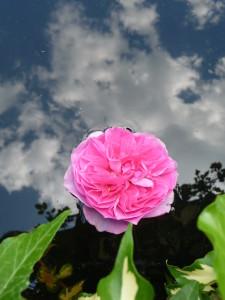 """""""Rosenhimmel"""" könnte die Spiegelung heißen."""